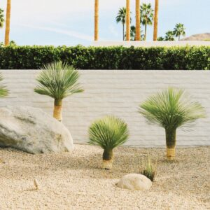 Water wise landscaping, three baby palm trees in sandy ground